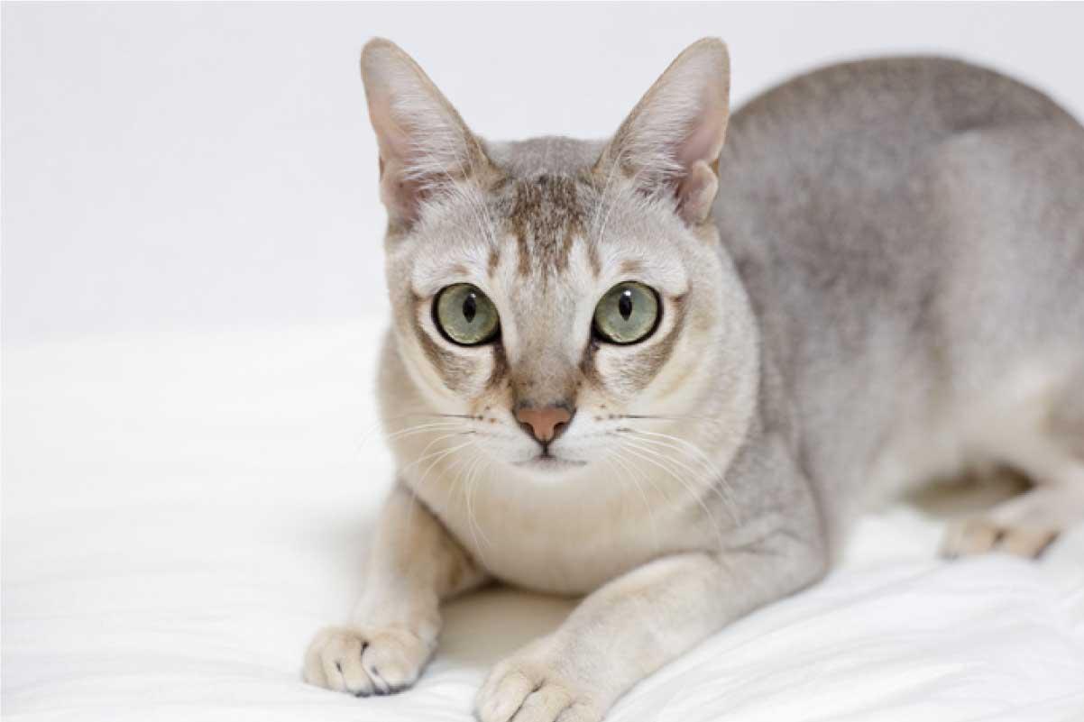 Top 5 Smallest Cat Breeds For A Kitten Like Feel Forever Yourpetsguide